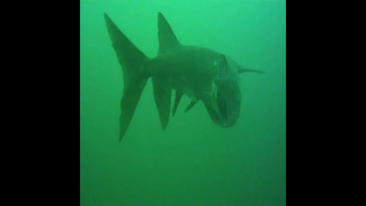 Scuba Diving With 6 Feet Paddlefish S Amp 5 Foot Catfish 100