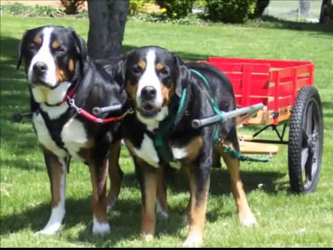 Greater Swiss Mountain Dog Fast Facts