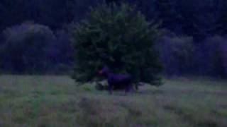 Moose in Field
