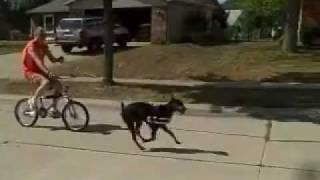 """""""chupa"""" The Bike Pulling Doberman"""