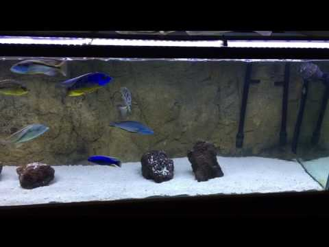 Synodontis Feather Fin Malawi Catfish Breeders @ The Cichlid Stop.. from YouTube · Duration:  1 minutes 3 seconds  · 1,000+ views · uploaded on 11/15/2011 · uploaded by thecichlidstop
