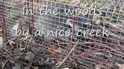 How to Live Trap a Raccoon, the best bait is savory and sweet..
