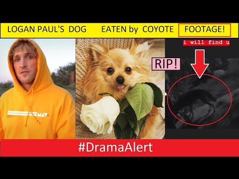Logan Paul's Dog Kong EATEN by COYOTE! (FOOTAGE) #DramaAlert KSI RESPONDS! Jake Paul ALMOST DIES!