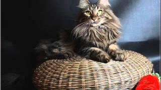 Kucing Anggora dan Harga Kucing Anggora