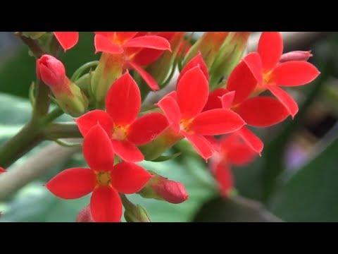 Каланхоэ - род суккулентных растений семейства Толстянковые (Crassulaceae). Красное каланхое
