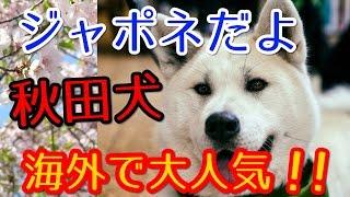 海外で外国人に日本の秋田犬が大人気!フランスで秋田犬を見た外国人「...