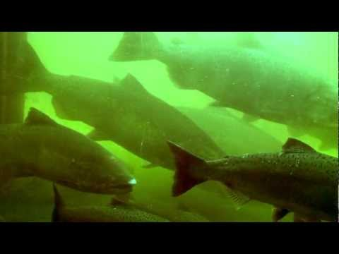 Salmon Ladder at Ballard Locks