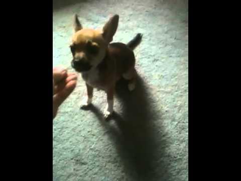 chihuahua-puppy-behaviors