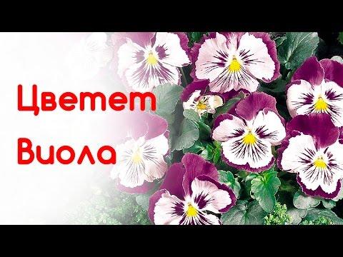 Violas(pansies) blossom in Berlin central park (Tiergarten).  Анютины Глазки. Обзор клумбы в Берлине