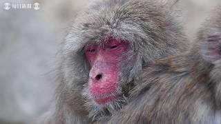 野生のサルに花粉症に似た症状:兵庫・淡路島