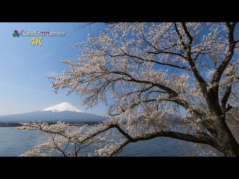 [4K Ultra HD] 世界遺産 絶景 富士山と満開の桜 Mt FUJI & Cherry Trees full bloom