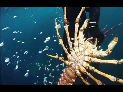 Spearfishing And Cray Diving Victoria Melbourne - 4kg Southern Rock Lobster