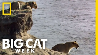 A Dangerous River Crossing | Big Cat Week