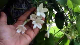 Video Stephanoitis floribunda. ( Madagascar jasmine, bridal wreath flower ) download MP3, 3GP, MP4, WEBM, AVI, FLV Agustus 2018