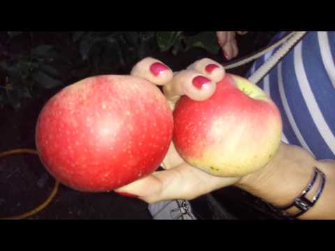 Growing Apple Variety Discovery: The Movie