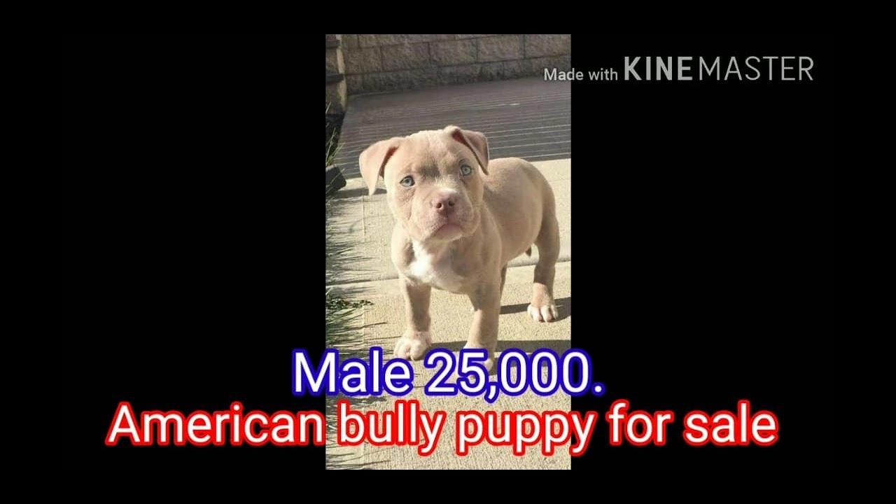High Quality American bully puppy for sale. contact no. 8447232664.