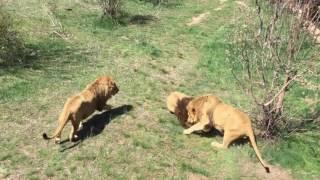 Парк Тайган  15 04 2017  Выпуск львов на просторы сафари