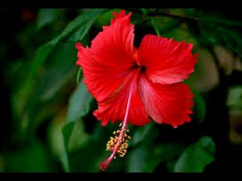 116 How To Grow Gudhal Hibiscus From Cutting Hindi Urdu 178