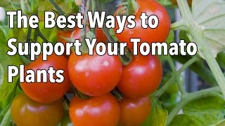Tomato Cages: How to Make Supports for Healthier Tomato Plants thumbnail