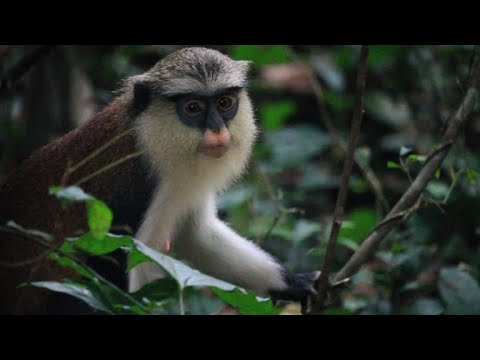 Ghanaian villagers profit from monkey business