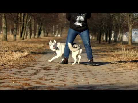 Maya the Siberian husky _ dog tricks _ 2016