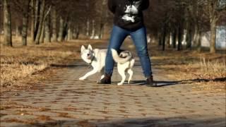 Maya the Siberian husky _ dog tricks _ 2016