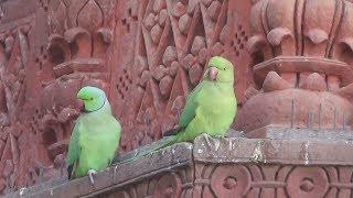 зелёные попугаи Раджастана в Индии