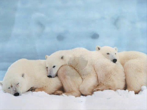 колыбельная спят твои соседи белые медведи слушать