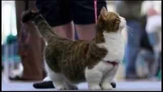 Порода манчкин  очень необычные кошки