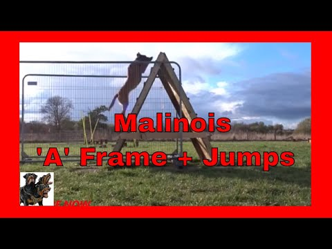 Belgian Shepherd Malinois - A Frame and Jumps