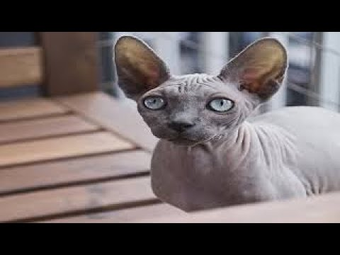 World's Smallest Cats & Cat Breeds 2016