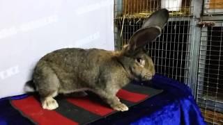 Крольчиха породы Бельгийский великан окрас агути