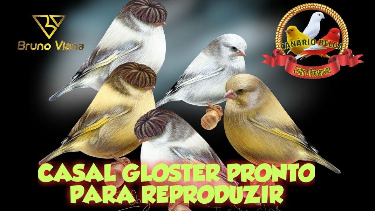 CASAL GLOSTER PREPARADOS PARA REPRODUÇÃO