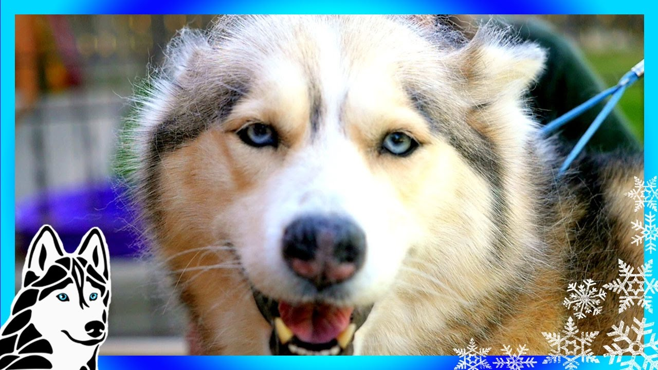 Grooming A Siberian Husky Tools For Grooming Your Dog Youtube