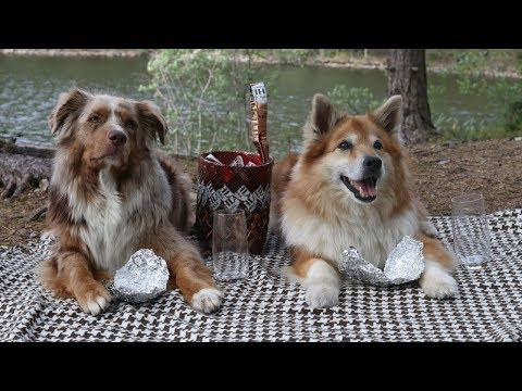 Dogs Having a Picnic | Australian Shepherd & Icelandic Sheepdog