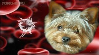Сепсис у собак | Симптомы | Причины | Лечение.