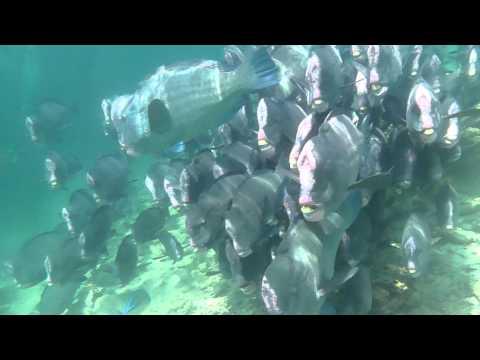 Sipadan Barracuda Point Diving - Bumphead Parrotfish