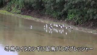 冬鳥セイタカシギらと留鳥バン