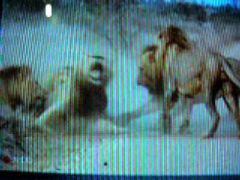 LIONS FIGHTING / LUCHA  DE LEONES 4 vs 1(ESCENAS MUY FUERTES)