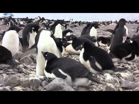 Adelie Penguins of Paulet Island, Antarctica