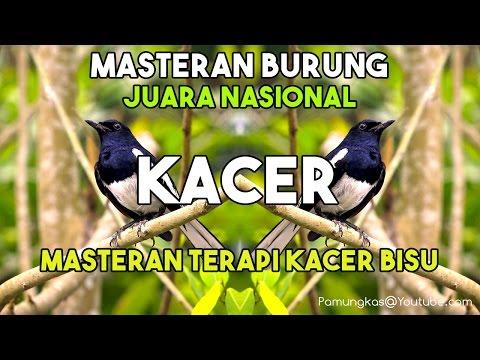Masteran Suara Burung Kacer Juara Nasional Dan Masteran Terapi Kacer Bisu