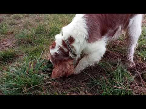 Welsh springer spaniel works hard