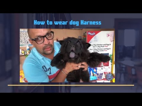 Pet Care – How to wear dog Harness –  Chest belt – Bhola Shola