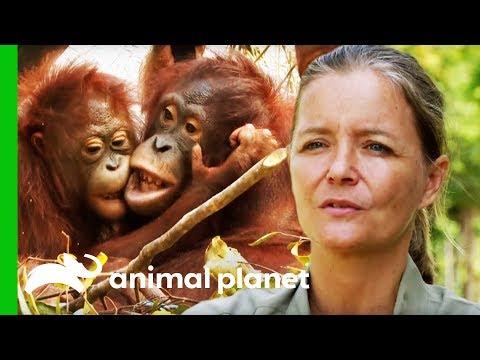 Adoptive Mother And Baby Orangutan Need To Be Separated | Orangutan Island