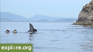 Five Fascinating Facts About Orca Families - Never Stop Learning
