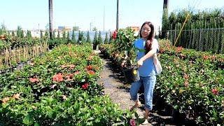 庭仕事の日。ガーデンセンターに行って庭に花を植えました。アメリカ生活・テキサス暮らし編 #128