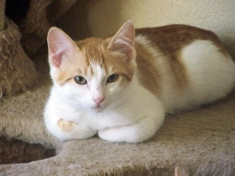 Domestic Shorthaired Cat Breed | A Simple Guide to Domestic Shorthaired Cat
