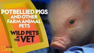 Potbellied Pigs and other Farm Animals | Wild Pets at the Vet