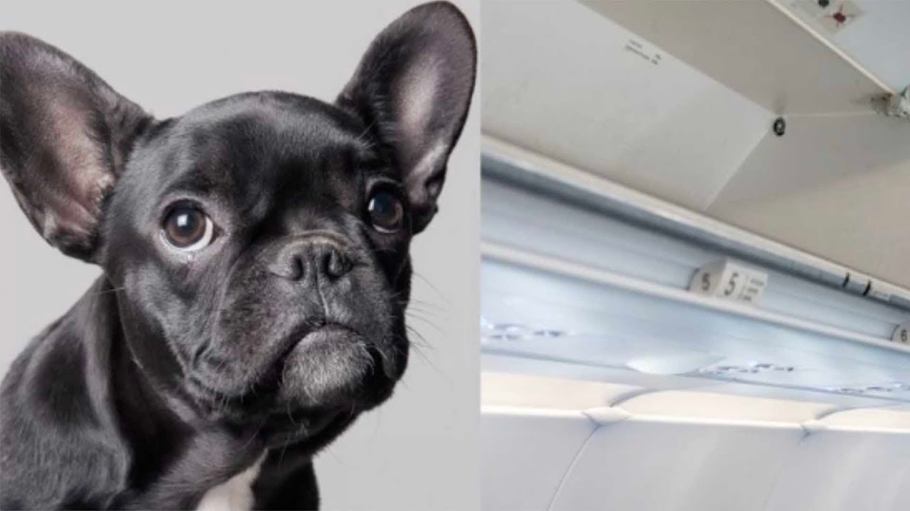 Good Morning America French Bulldog : Puppy dies when united airlines forces passenger to put