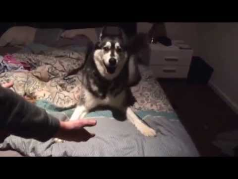 angry-husky-telling-us-off-for-leaving-him